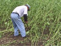 作物を刈り取る風景写真
